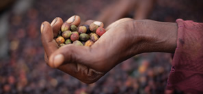 Hand holding coffee cherries
