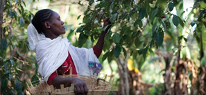 Woman picking coffee cherries off a tree